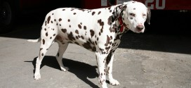 New York City Firehouse Actually Has A Pet Dalmatian!
